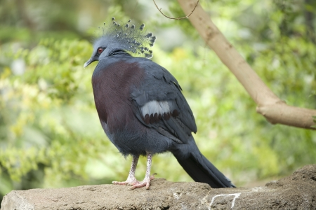 Victoria crowned pigeon easily identified by their  notable crown.