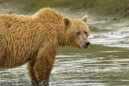 wet bear: A wet brown bear standing in water, drooling