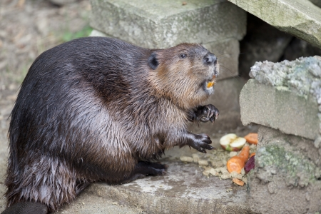 Wet Beaver that came right out of the pond is munching on food. Stock Photo - 17354145