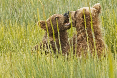 horsing around: Two bear cubs yelling at each other