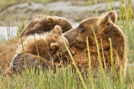 suckle: Bear cubs climb all over their mother Stock Photo
