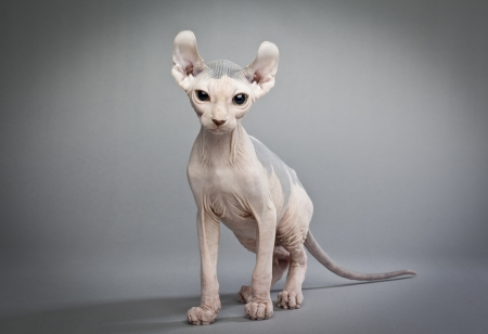 sfinx: Een elf kat is een kruising tussen verschillende rassen van kat. Het is kaal met gekrulde oren en staarten Stockfoto