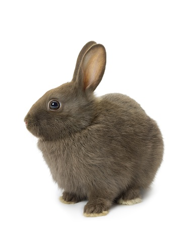 Cute brown bunny sitting over white background. photo