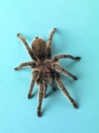 Top view of a tarantula isolated on turquoise background. Stock Photo - 17517139