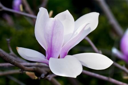 Close up image of purple magnolia flower