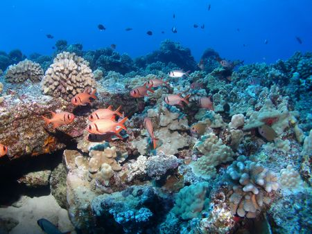 Black Bar Soldier Fish on a Hawaiian reef in Maui photo