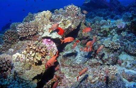 soldier fish: Black Bar Soldier Fish on a Hawaiian Reef