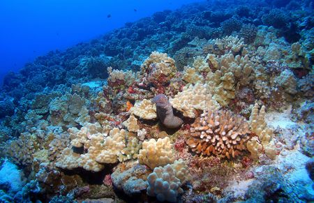 Hawaiian Moray Eel under Coral sticking his head out. Imagens