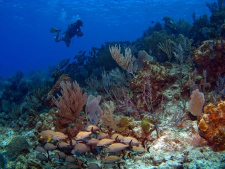 cayman: Scuba Diver swimming along a Cayman Island Reef