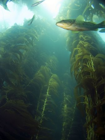 Looking up into the Kelp at a Sea Bass in Catalina photo