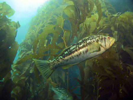 alga marina: Kelp Bass nataci�n en el Kelp en Catalina Island  Foto de archivo