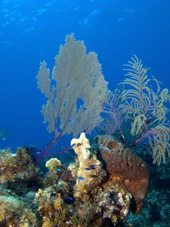 immersed: Caribbean Reef with Sea Fan and Coral in the Cayman Islands