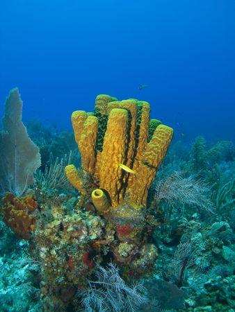 vertebrate: Cayman Island Tube Sponge with a Yellow Fish