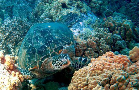 chelonia: Green Sea Turtle on an Hawaiian Reef