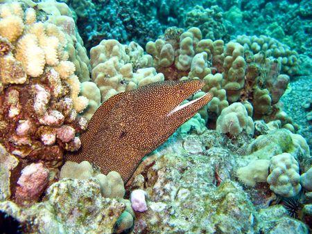 Whitemouth Moray Eel on a Hawaiian Reef