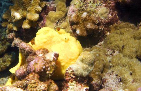 reef fish: Yellow Frog Fish on a Hawaiian Reef