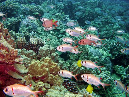 soldier fish: Black Bar Soldier Fish on a reef in Kona Hawaii swimming in one direction