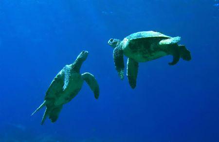 Groene zee schildpadden spelen in Kona Hawaii