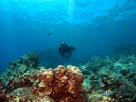 kona: Diver on a Reef with Sergeant Major Fish in Kona Hawaii Stock Photo