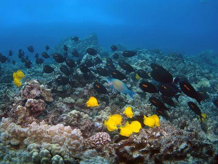 tang: Orangeband Surgeonfish and Yellow Tang swimming on a Hawaiian Reef in Kona Stock Photo
