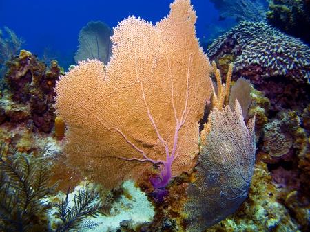 sea fans: Colorful Sea Fans in Cayman Brac