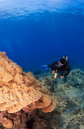 Diver checking out Mushroom Coral in Kona Hawaii photo