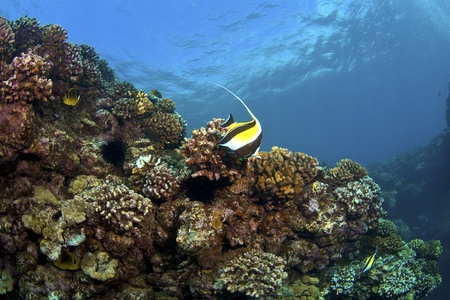 zanclus cornutus: Colorful Reef in Kona Hawaii with Moorish Idol and Raccoon Butterflyfish