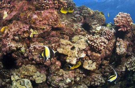Reef Scene in Kona Hawaii met Moorse Idol en Butterfly Fish