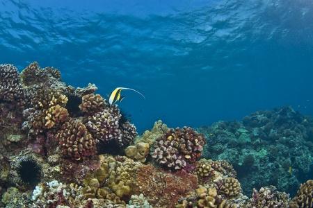 zanclus cornutus: Lone Moorish Idol on a Hawaiian Reef in Kona