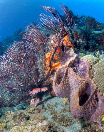 st lucia: A sponge and soft coral on a St. Lucia Reef