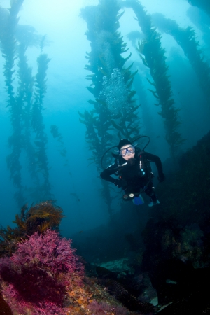 kelp: A Female diver descends in the kelp off of Santa Catalina Island in Southern California Stock Photo