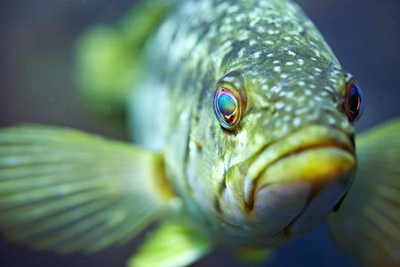 catalina: Kelp Bass in Catalina Stock Photo