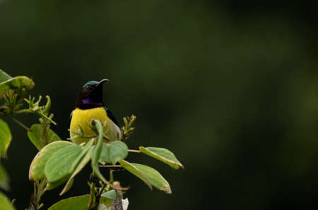 A purple rumped sunbird sitting on leaves with lot of space in image to write