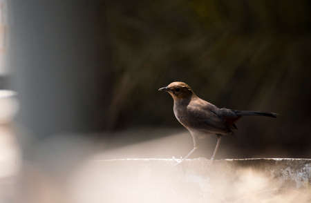 A indian robin sitting on cement pole with shallow depth background Stock Photo