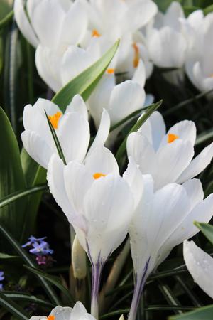 blooms: White Crocus Blooms
