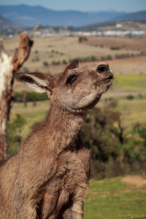 Kangaroo in Tasmania, Australia