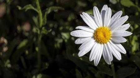 Daisy flower white petals around a bright yellow center stock daisy flower white petals around a bright yellow center stock photo 98144345 mightylinksfo
