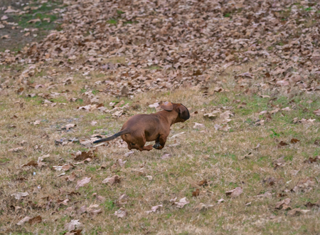 Wiener  dachshund dog on the hunt running in the field Imagens