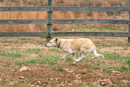 Mixed Breed Ranch Dog running along the pasture fence Oklahoma Imagens