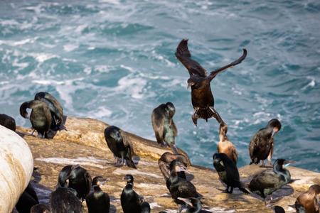 Cormorant bird coming in for a landing  La Jolla Beach, San Diego, California,
