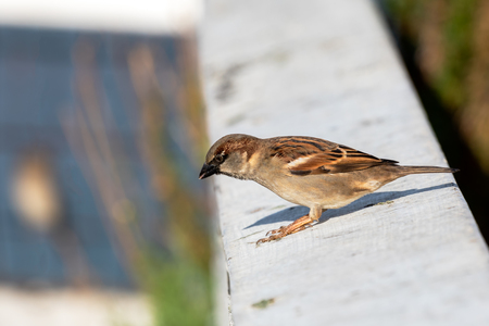 Sparrow sitting on a ledge in the sun at the beach