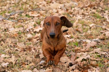 Wiener  dachshund dog running toward the camera