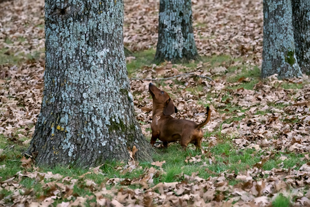 Wiener  dachshund dog looking for a squirrel in the trees. Early Morning on a cold fall day.