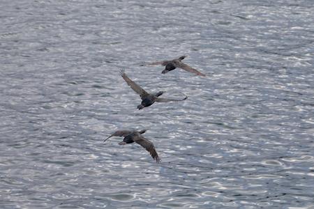 Flock of Cormorant Birds flying over the Pacific Ocean La Jolla Beach, San Diego, California Imagens