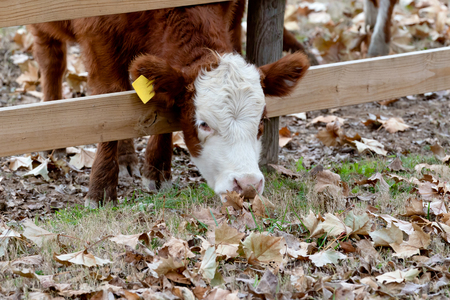 Cow  Calf sticking head through fence to eat fall leaves