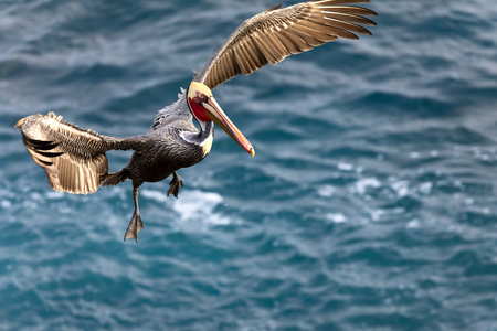 Brown Pelican Bird (Pelecanus occidentalis) in flight over the Pacific Ocean in La Jolla Beach, San Diego, California