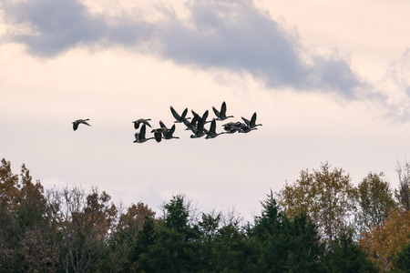 Flock of Geese flying over the trees in the country