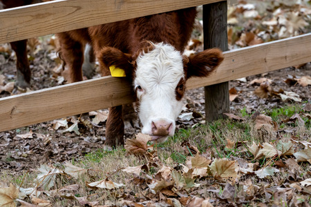 Cow  Calf sticking head through fence to eat fall leaves. Getting a little extra reach with its tongue. Imagens