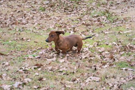 Wiener  dachshund dog running through the leaves