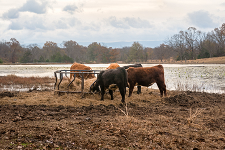 Herd of Cows grazing on hay in a feeder on a Ranch in Oklahoma.